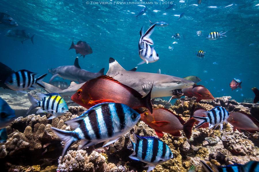Successful blacktip reef shark