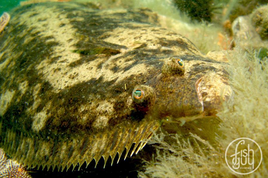 Summer Flounder (a.k.a. Fluke)