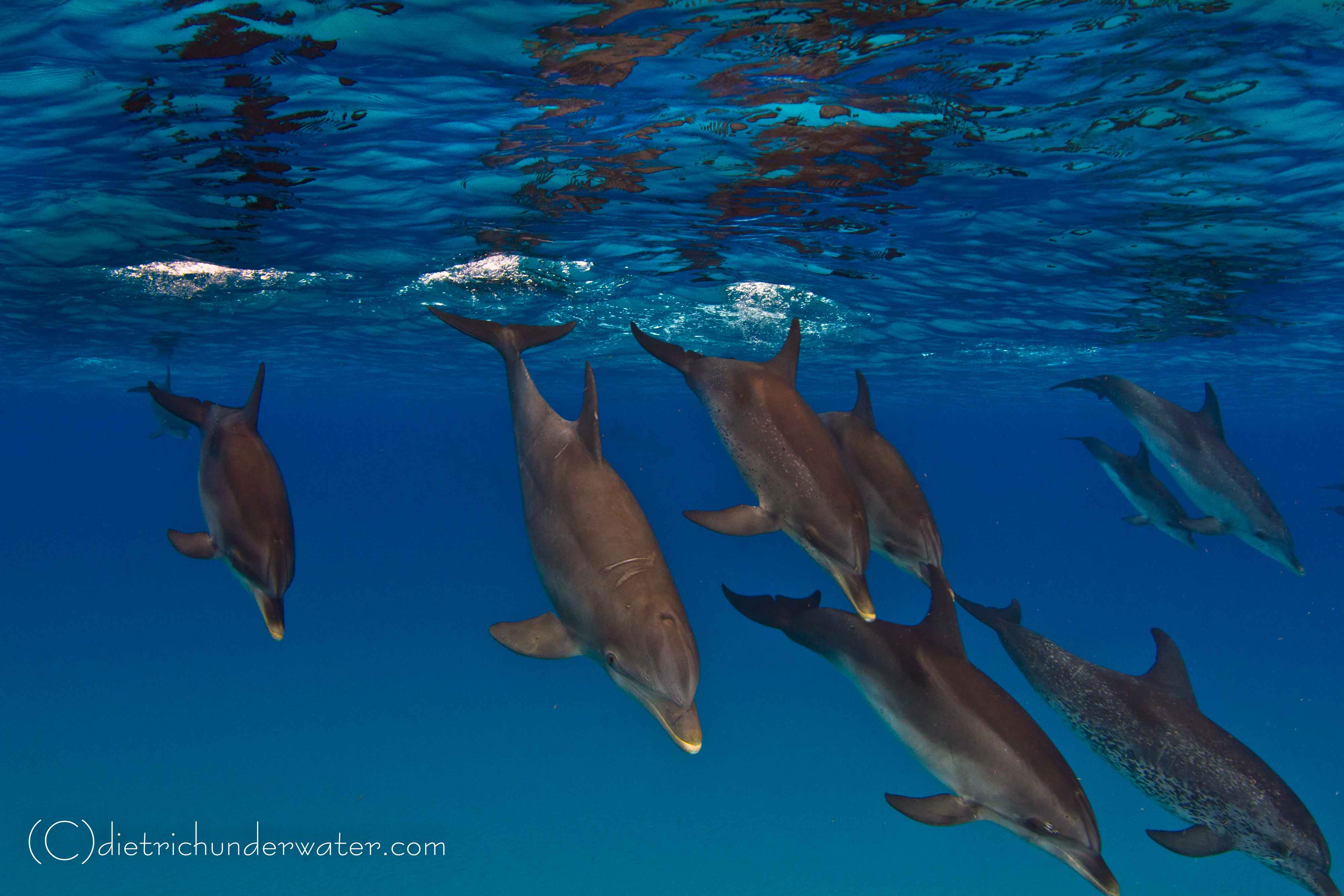 Mixed pod of Atlantic bottlenose and spotted dolphins.