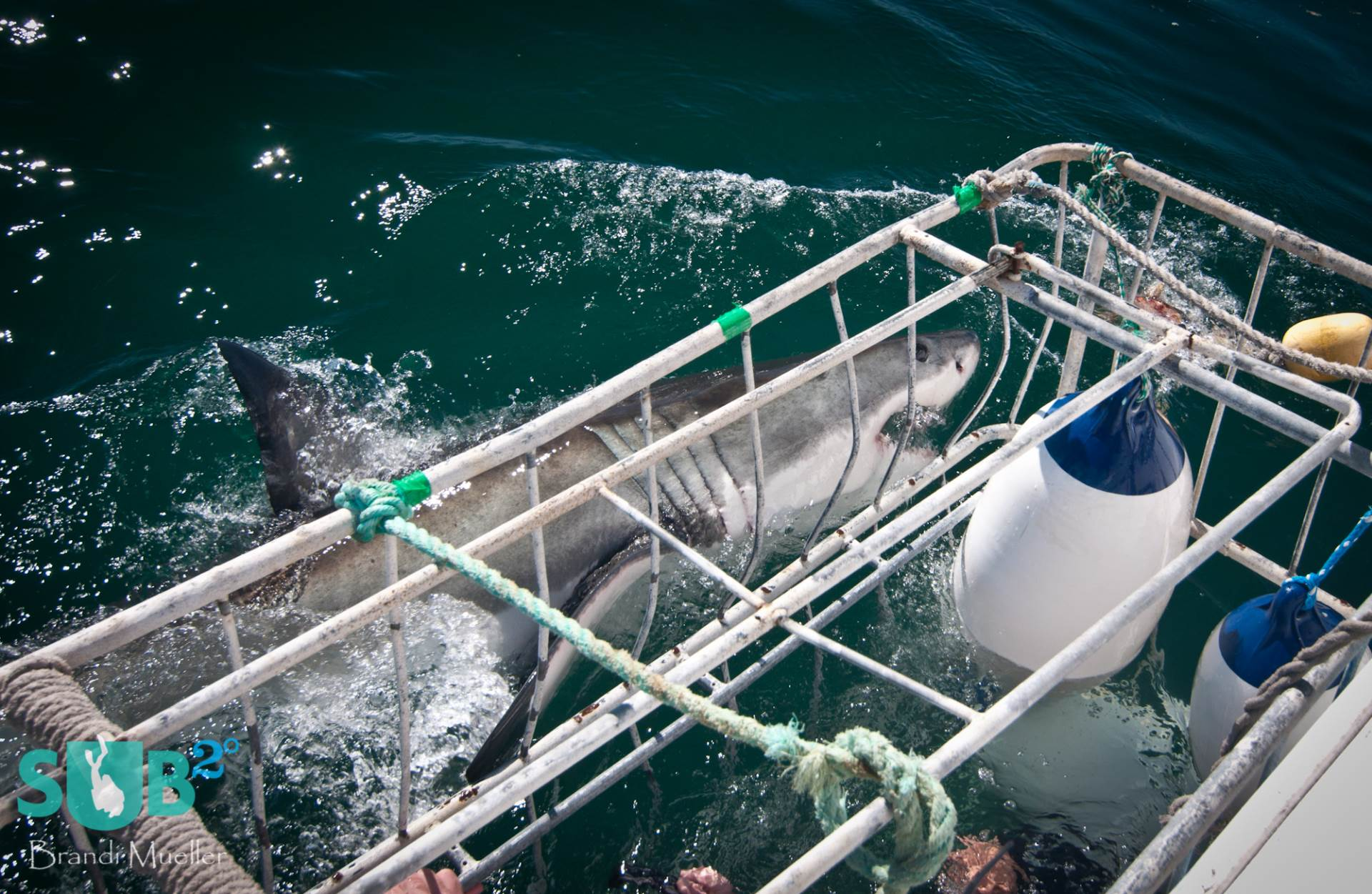 A great white shark comes very close to the cage.
