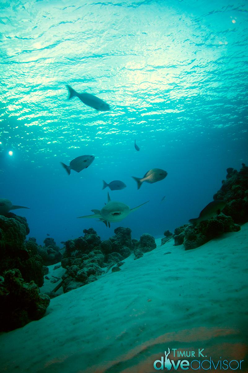Nurse Shark at Alimatha Dive Site.
