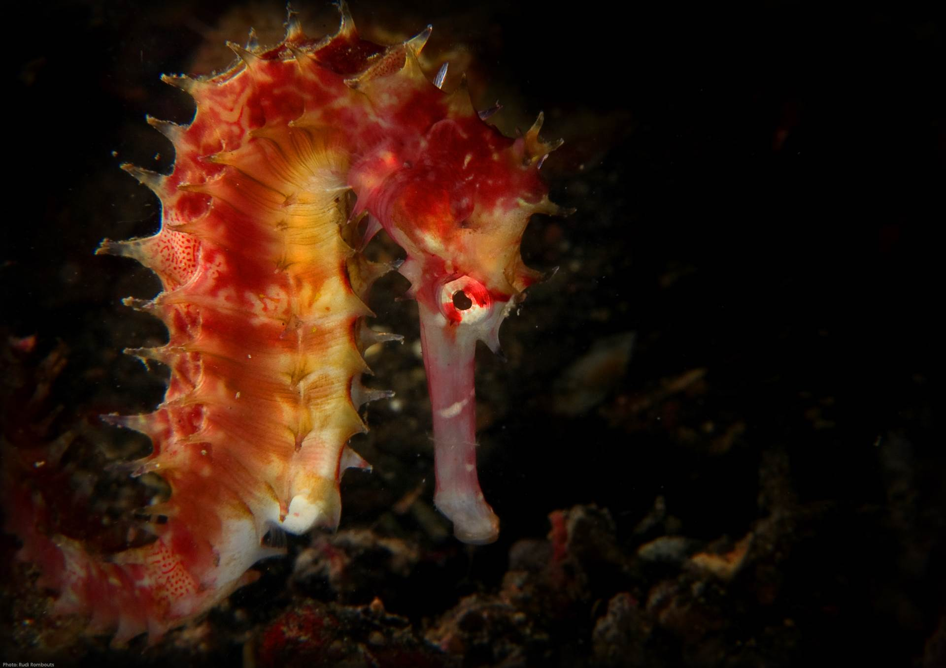 A thorny seahorse spotted in Lembeh, Indonesia.  Photo by Rudi Rombouts/Guylian Seahorses of the World