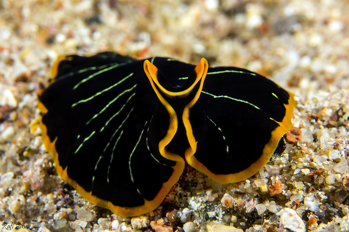 Tiger flatworm