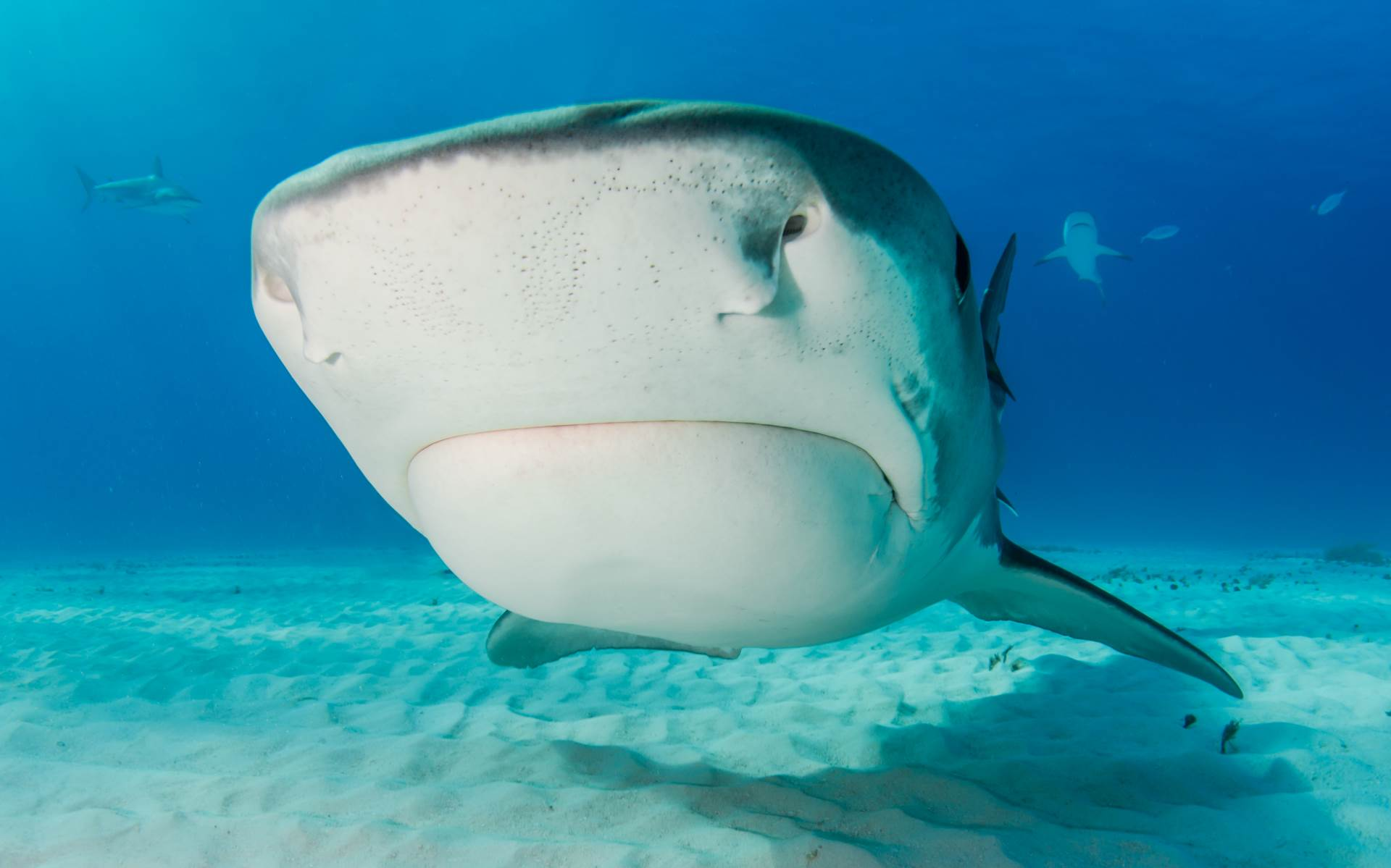 A tiger Shark investigates my camera rig allowing a close look at the , unique sensory organs that act as the sharks sixth sense.