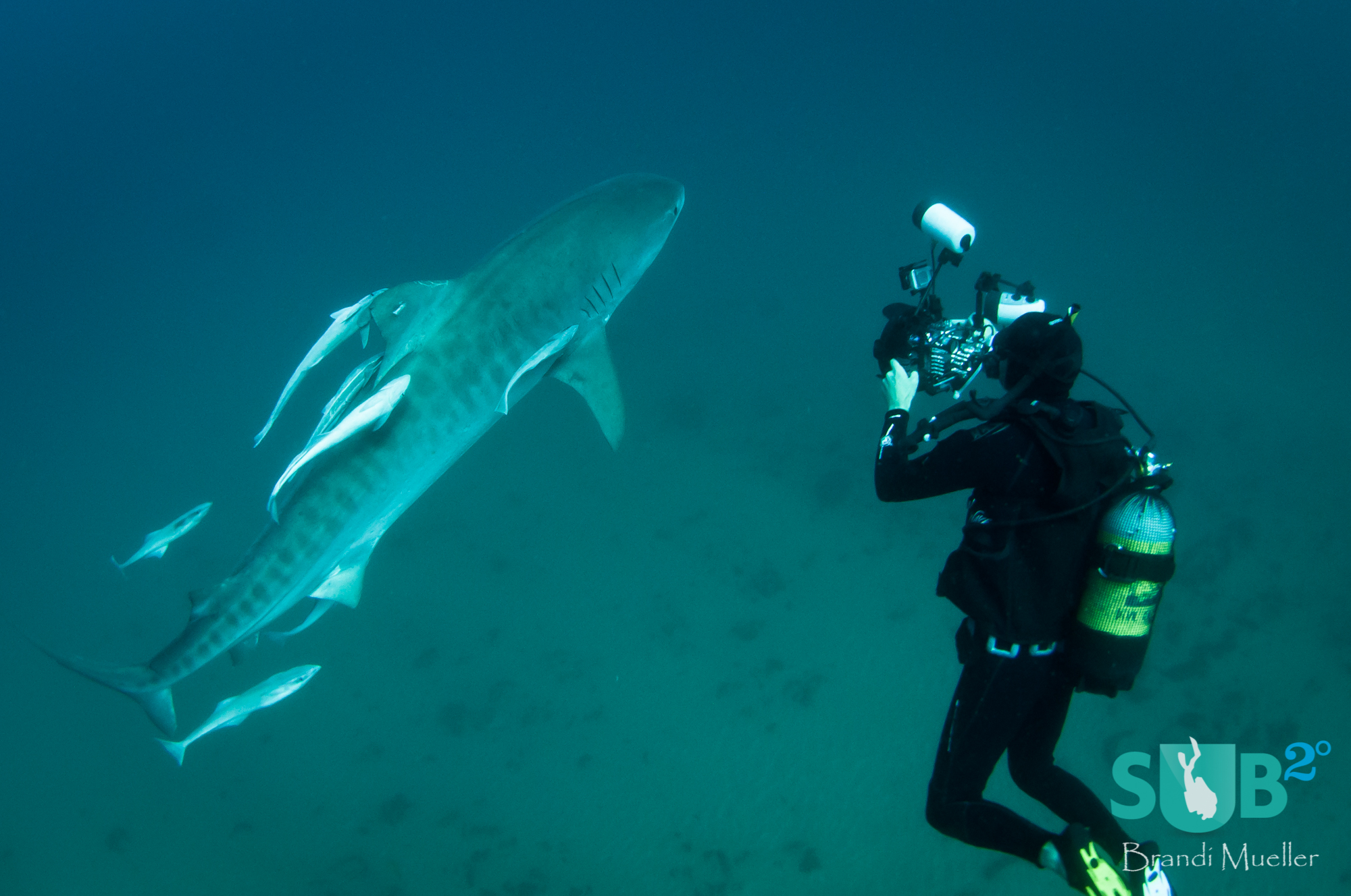 Swimming very close to the divers, this 14ft tiger shark doesn't seem bothered by us taking photos of her.