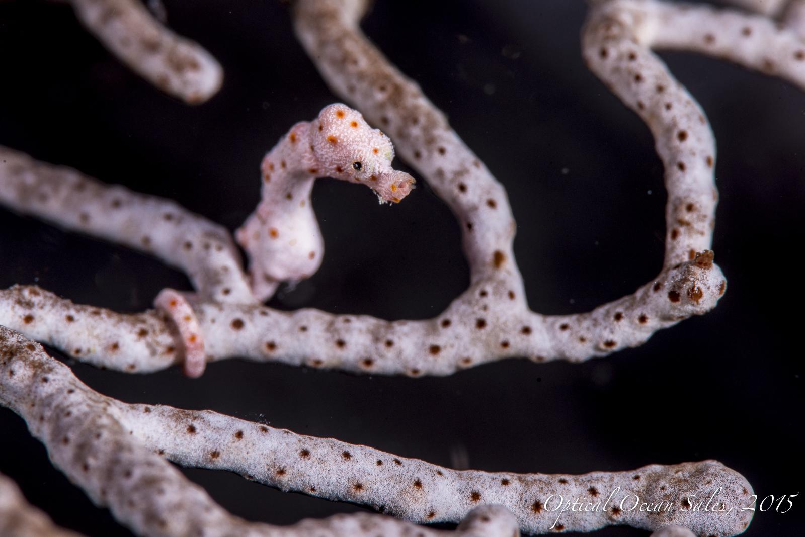 Tiny Pigmy Seahorse-24