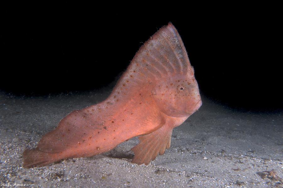 titleRed indianfish