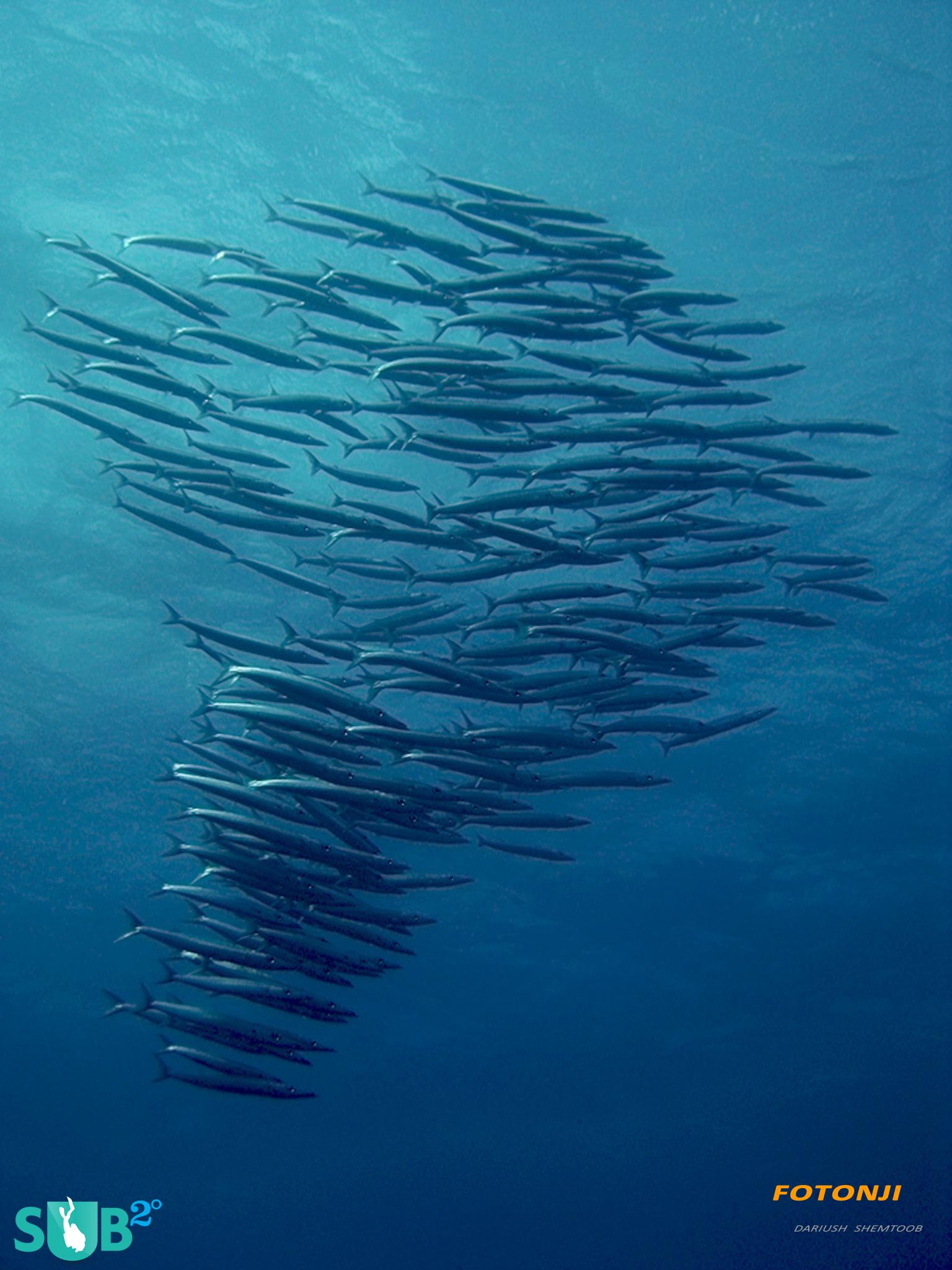 A School of Barracuda