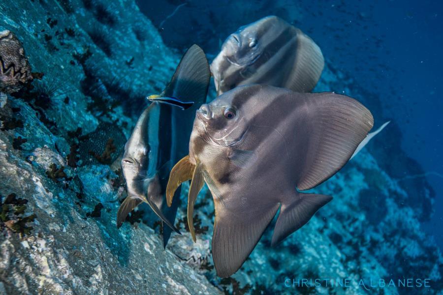 Trio of Batfish