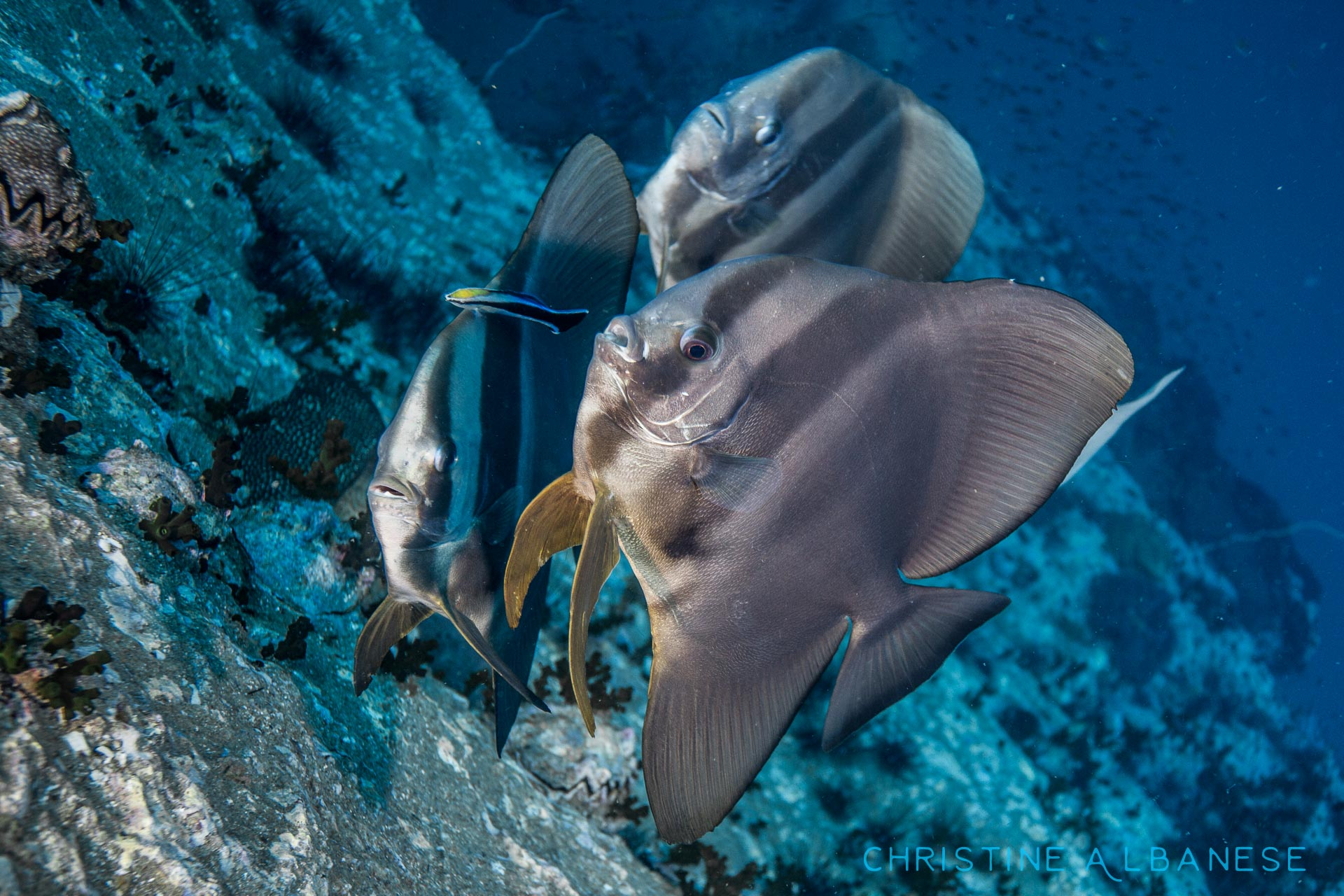 I love batfish! They have a silly face, amusing behaviour and they are very curious! Here is a trio of batfish at a cleaning station.  Tall-Fin Batfish (Platax Teira) #deepblue #underwaterphotography #underwater #underwaterdiving #ikelite #canon6d #wideangle #chumphonpinnacle #kohtao #thailand #batfish #cleaningstation #canon1740 #ds160 #wrasse #adventure #padi
