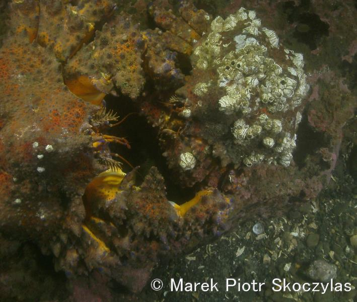 "Two Puget Sound King Crabs ""holding hands"""