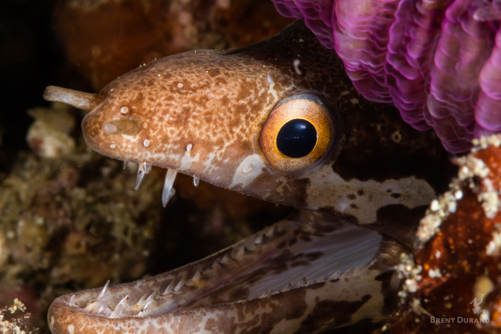 A barred-fin moray eel eyes the camera in this intimate portrait.