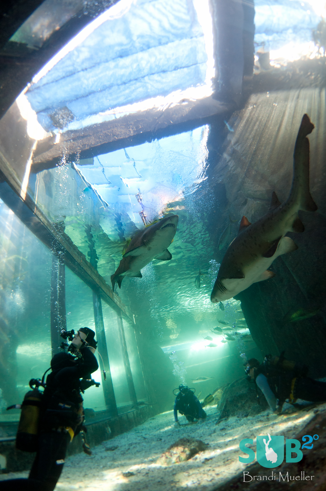 "The aquarium guarantees perfect conditions and sharks!  This photographer gets up close and personal with the ""raggies"" or ragged-tooth sharks."