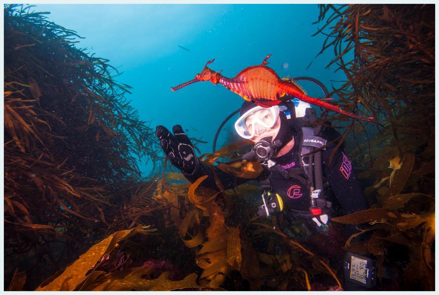 Weedy Sea Dragon Tasmania