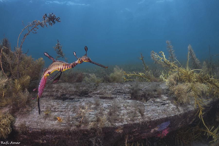 weedy sea dragon with eggs