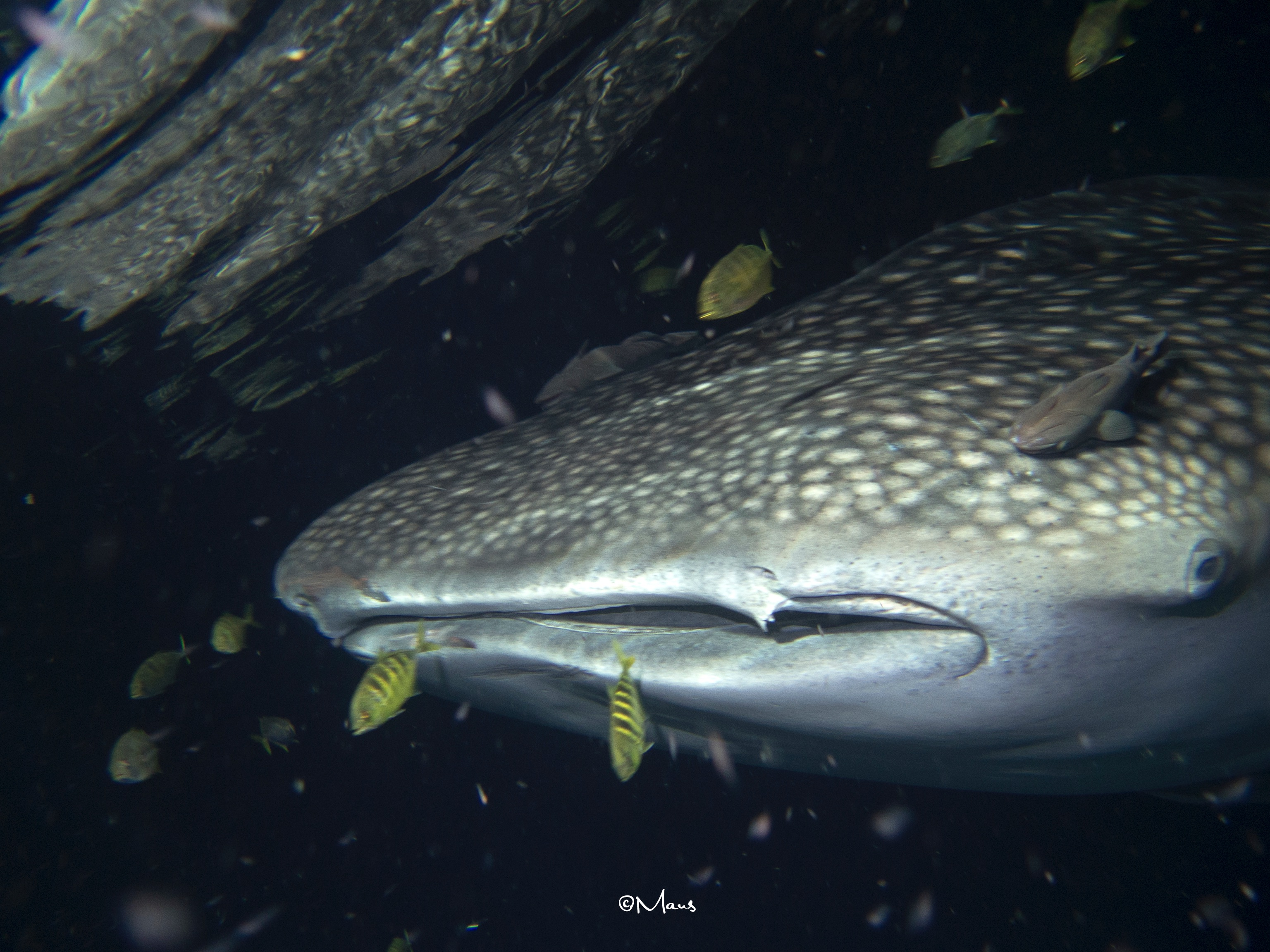In Thaa Atoll near Fahala Island with a strong light at the back of our dive safari MV Sting ray, we saw this whale shark for the whole night...