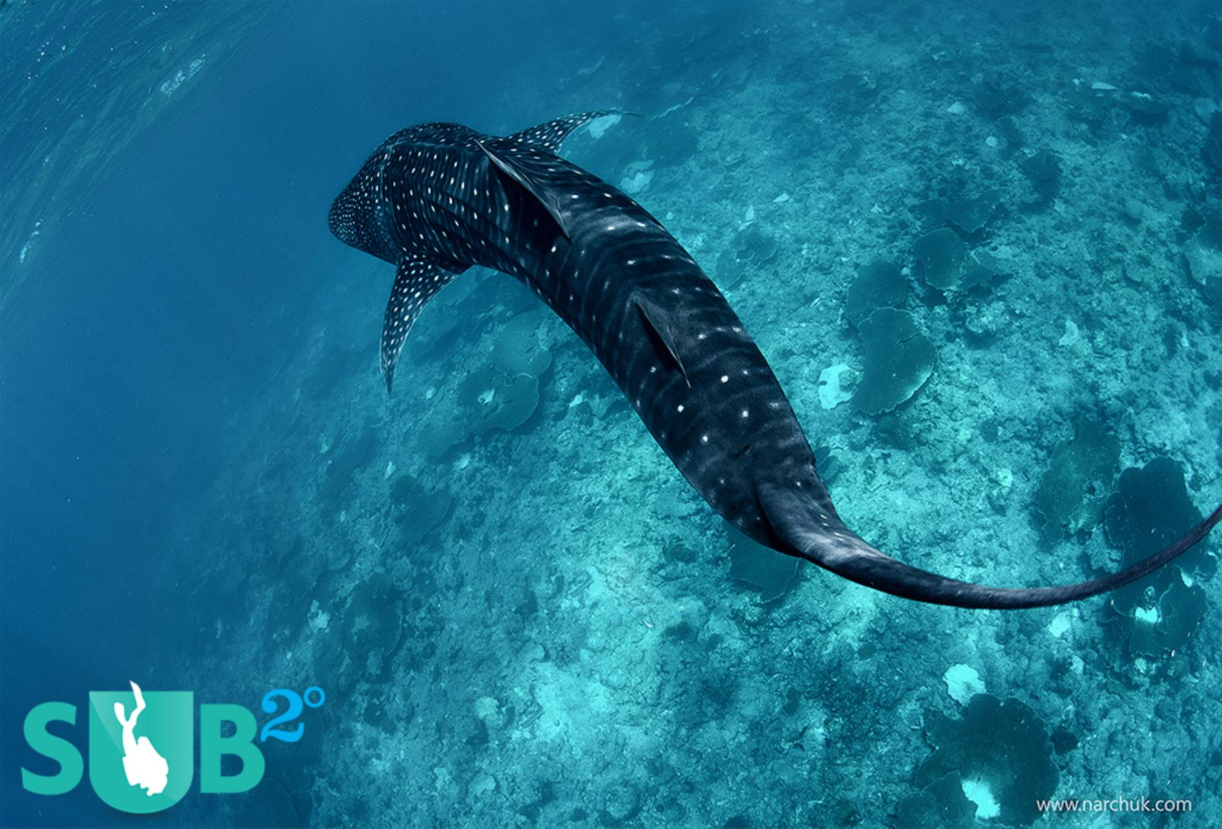 I would love to be swimming alongside this whale shark