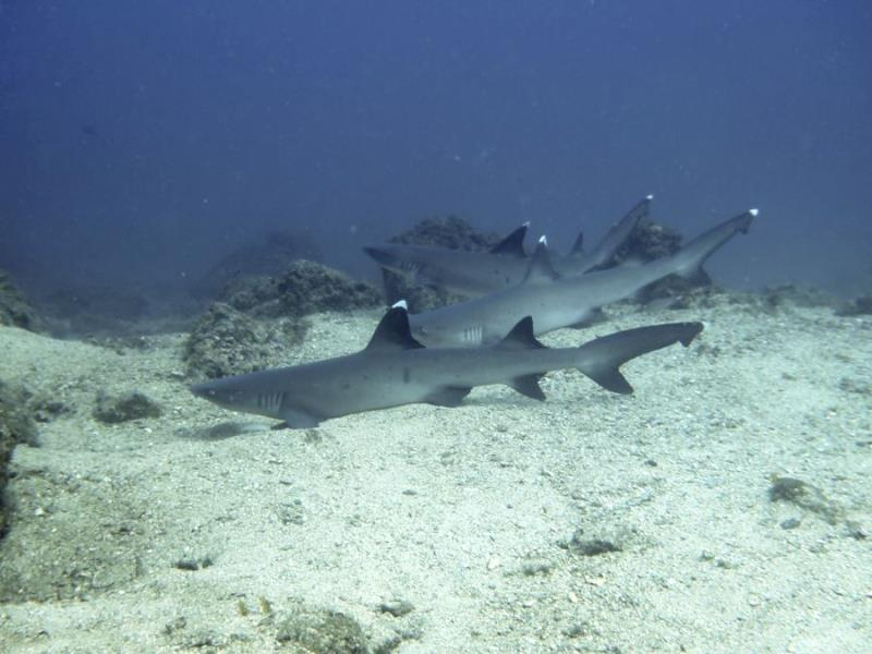 White-tip Reef Sharks