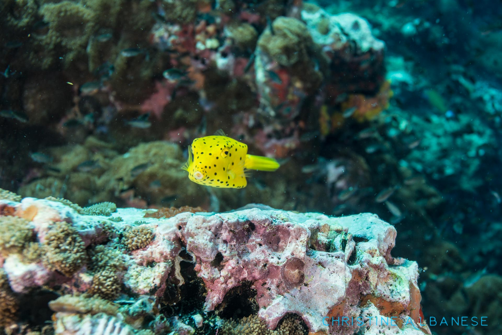 I absolutely love box fish! While this isn't an amazing photo, I was still happy to have been able to capture this shy little guy on camera. Yellow Boxfish (Ostracion Cubicus)  #kohtao #thailand #boxfish #scaredycat #shy #yellowpolkadots #yellow #underwater #underwaterdiving #underwaterphotography #closefocuswideangle #canon6d #ikelite #ds160 #box #awkward #padi