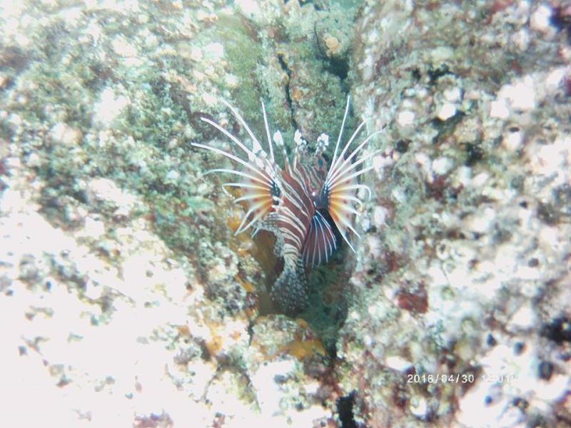 Zebra Lionfish 3